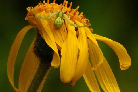 Kwiat arniki górskiej, fot. Dan Wołkowycki